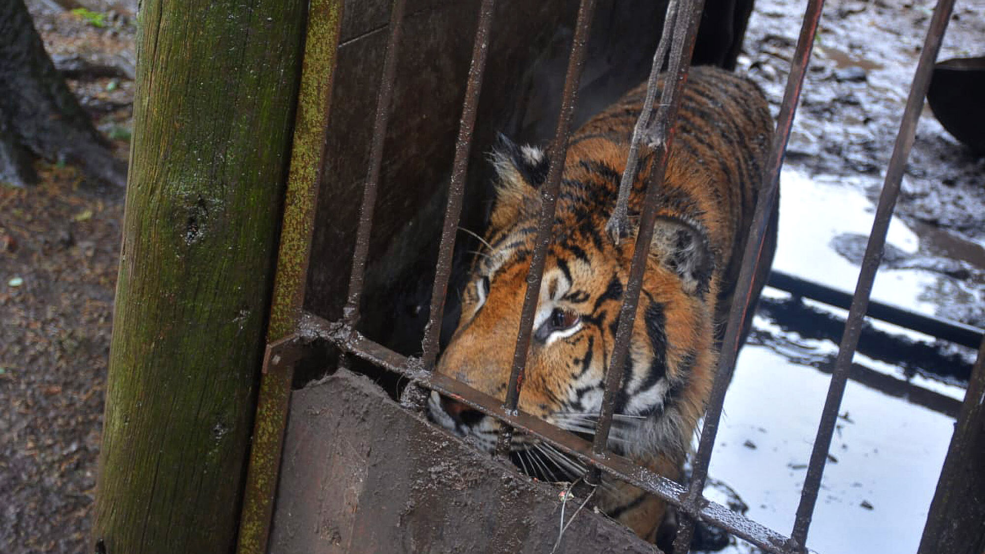 Horror Farm Bred Tigers and Pumas to Pleasure 'Hunters'