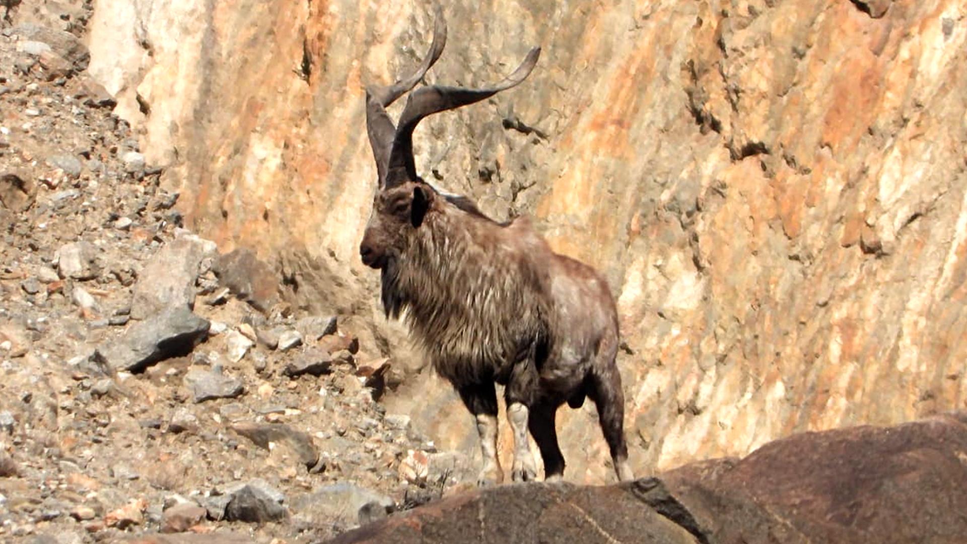 American Hunts Pakistan's National Animal With Arrow