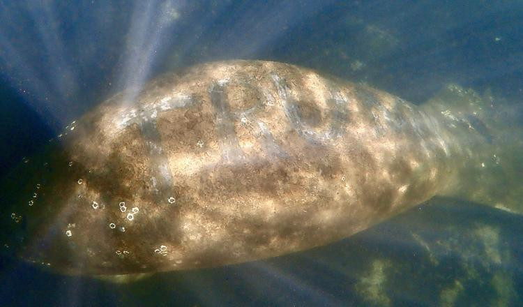 Reward Offered After 'Trump' Etched into Huge Manatee's Back
