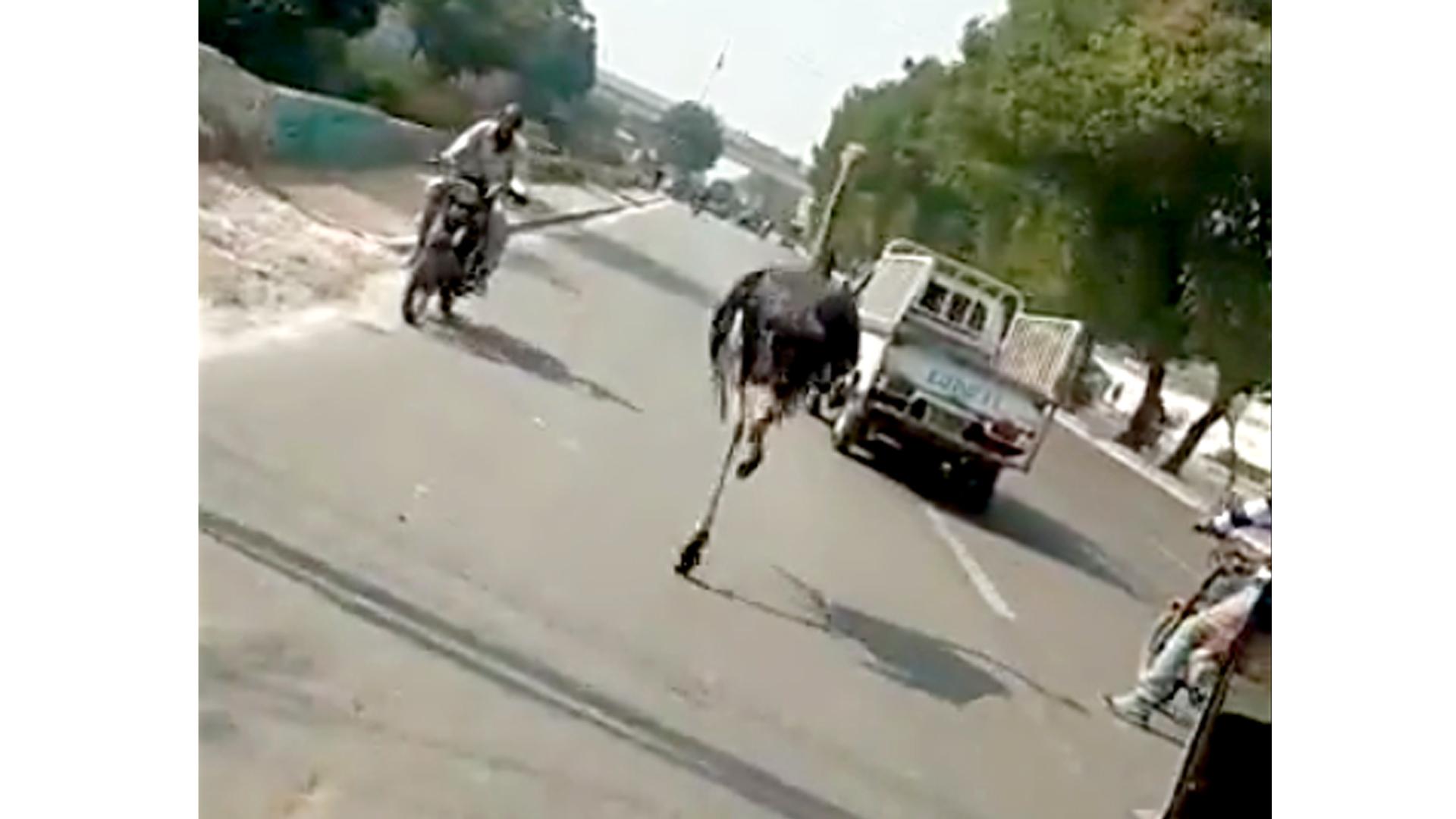 Runaway Ostrich Sprints Down Busy Karachi Street