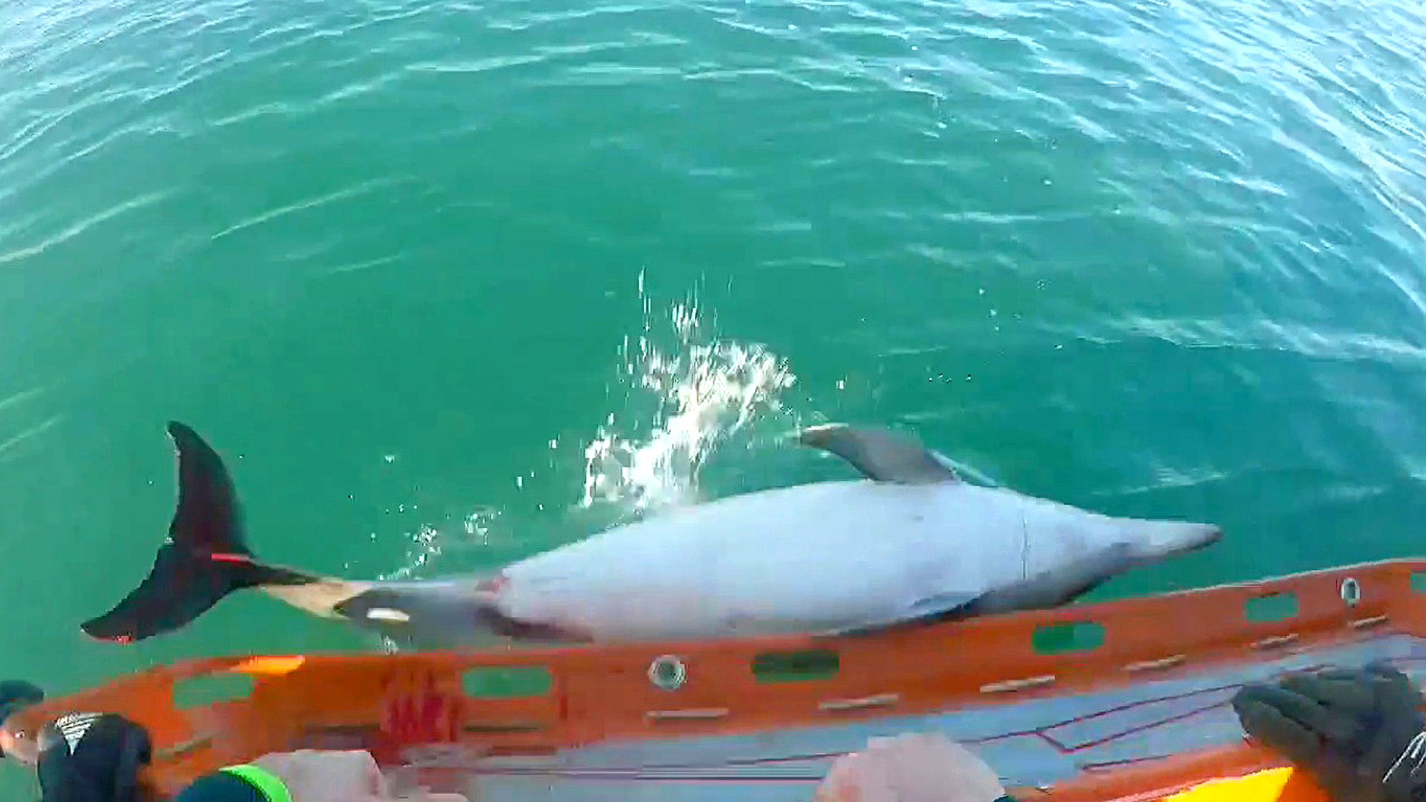 Dolphins Stranded In Europe's Strongest Tides, Rescued and Released - Zenger News