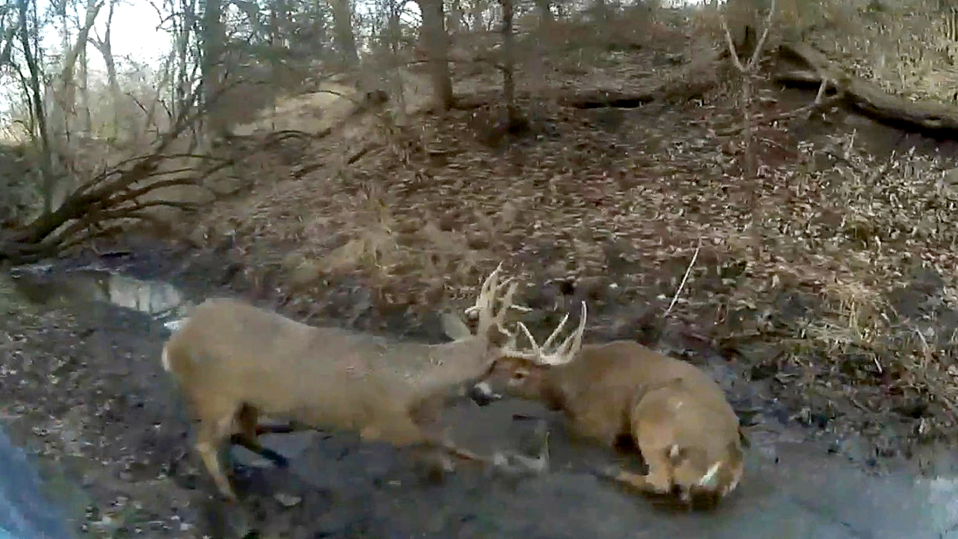 Game warden shoots at antler to save two entangled deer