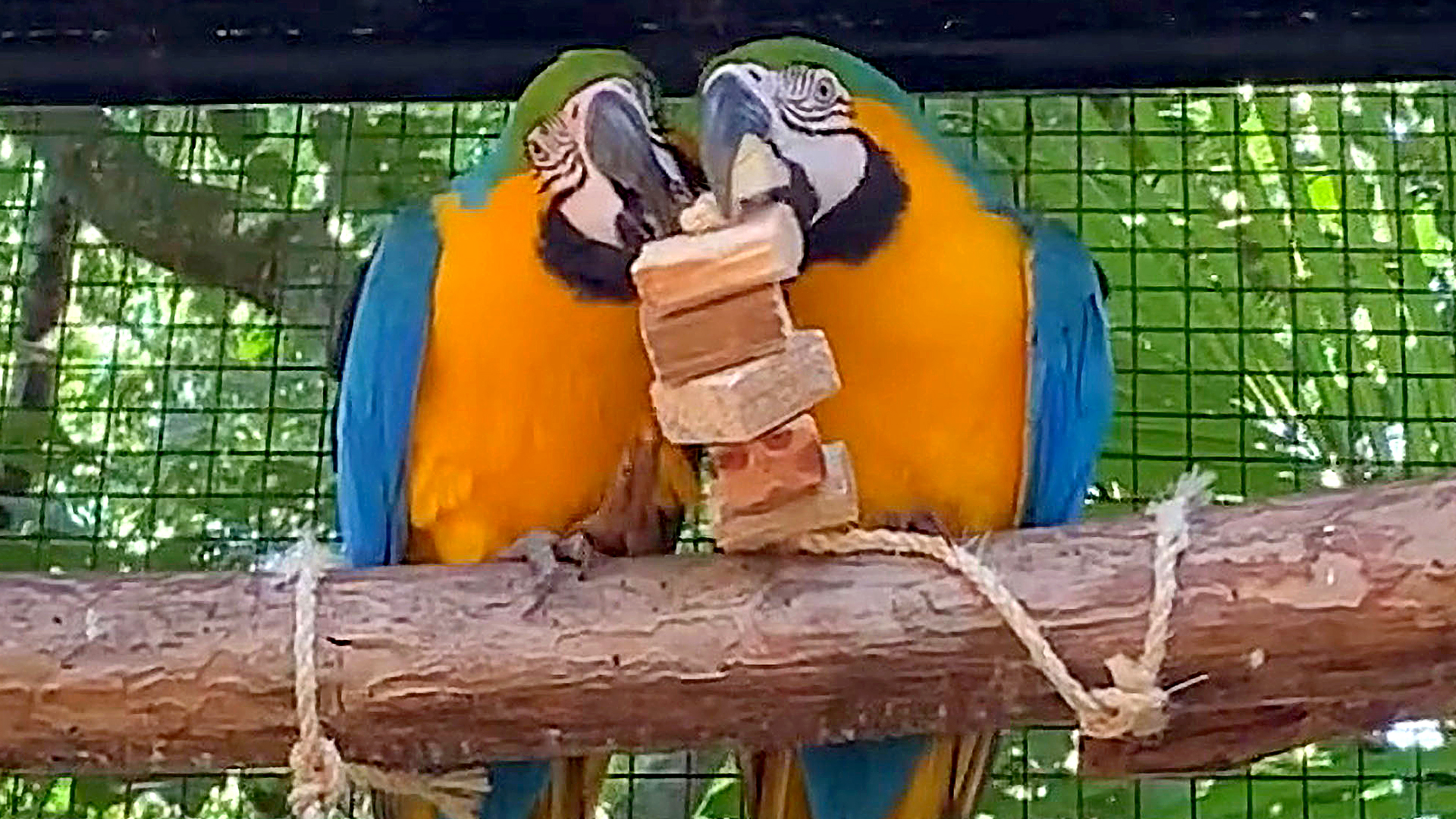 Rare Blue-Throated Macaws Spotted Playing at Bird Park