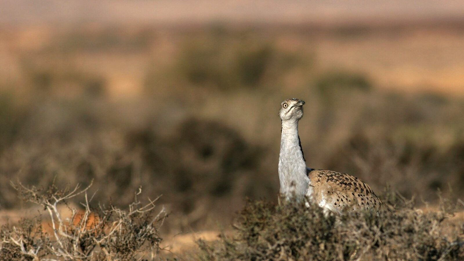 Israel And UAE Team Up To Preserve Rare Desert Bird Species