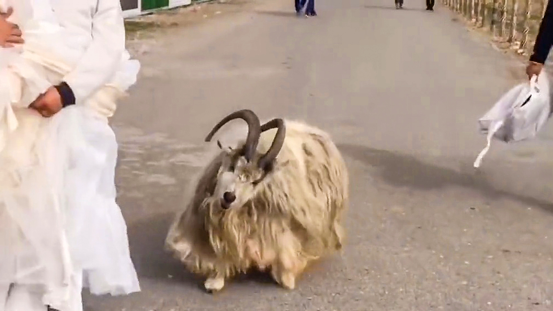 VIDEO: Bride Has Hilarious Photoshoot As Sheep Chases Away Photographer