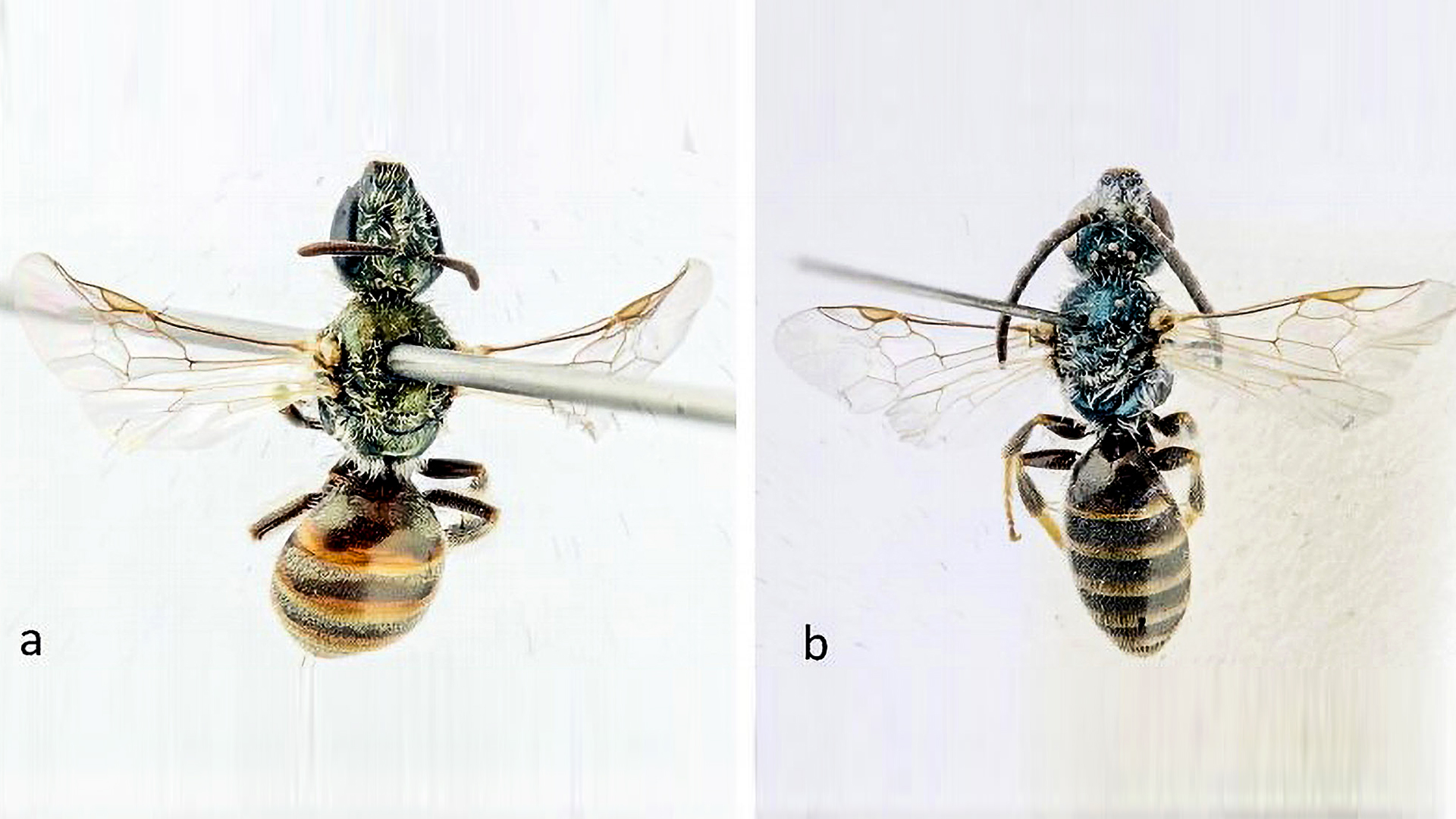 Discovery Of New Species Gives Hope For Wild Bee Preservation - Zenger News