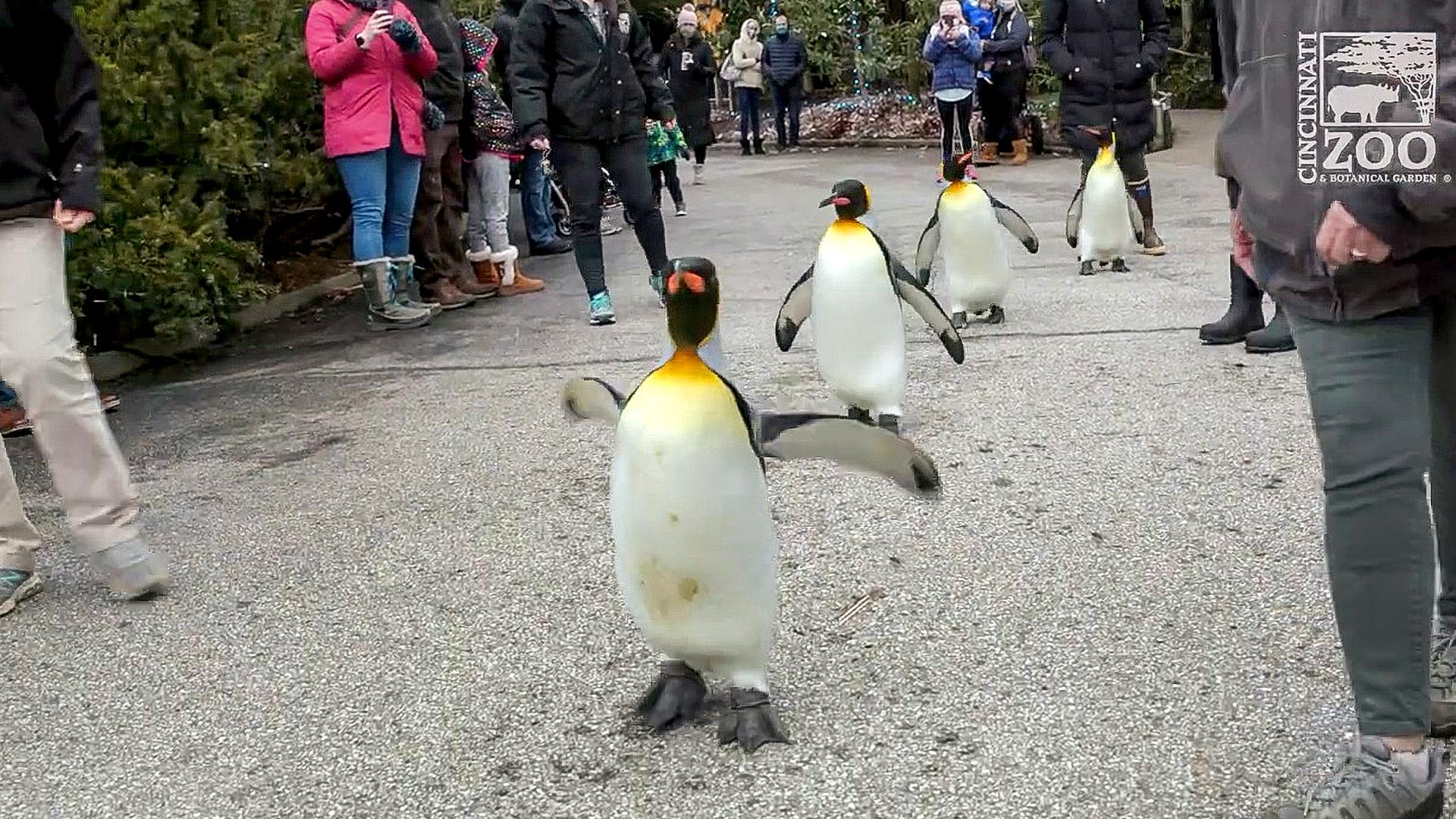 VIDEO: Adorable penguins go on parade at Cincinnati Zoo