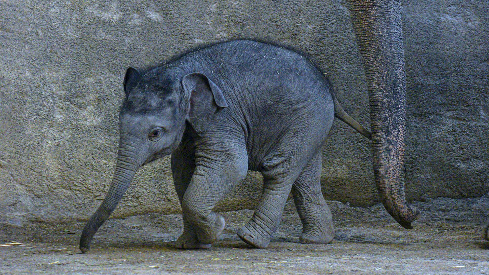 Weigh to Go: Baby Elephant Tops 30 Stone at his First Session on the Scales