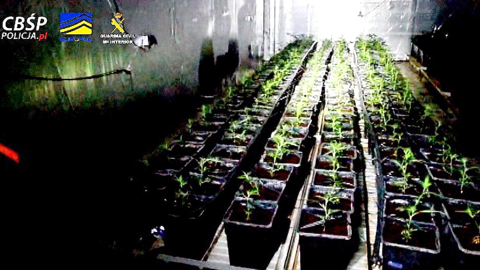 20,000 Cannabis Plants Seized in Europe-Wide Drugs Crackdown