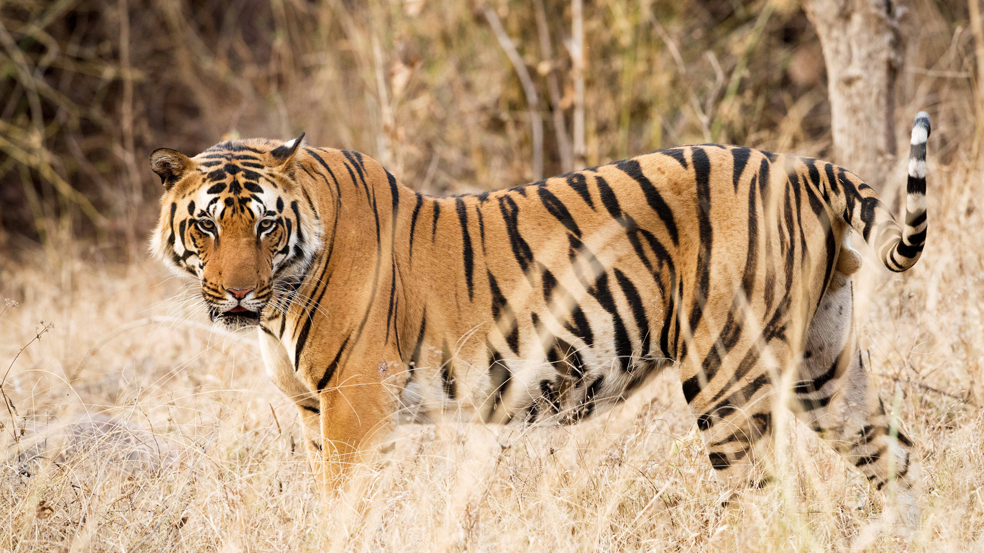 Eye On The Tiger: Reformed Poachers Now Target Tourists