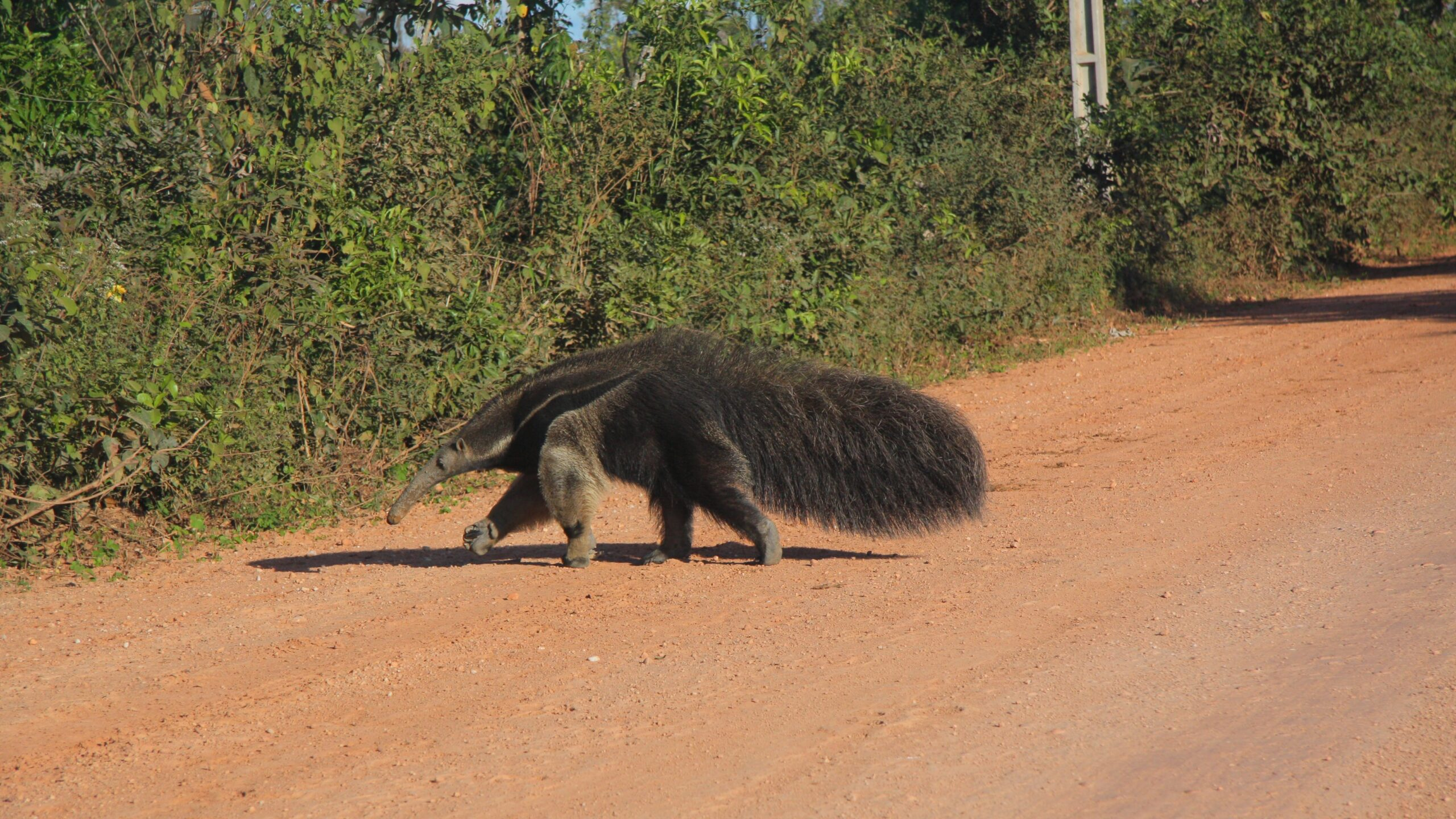 Truck Driver Saves Anteater From Certain Death On Road