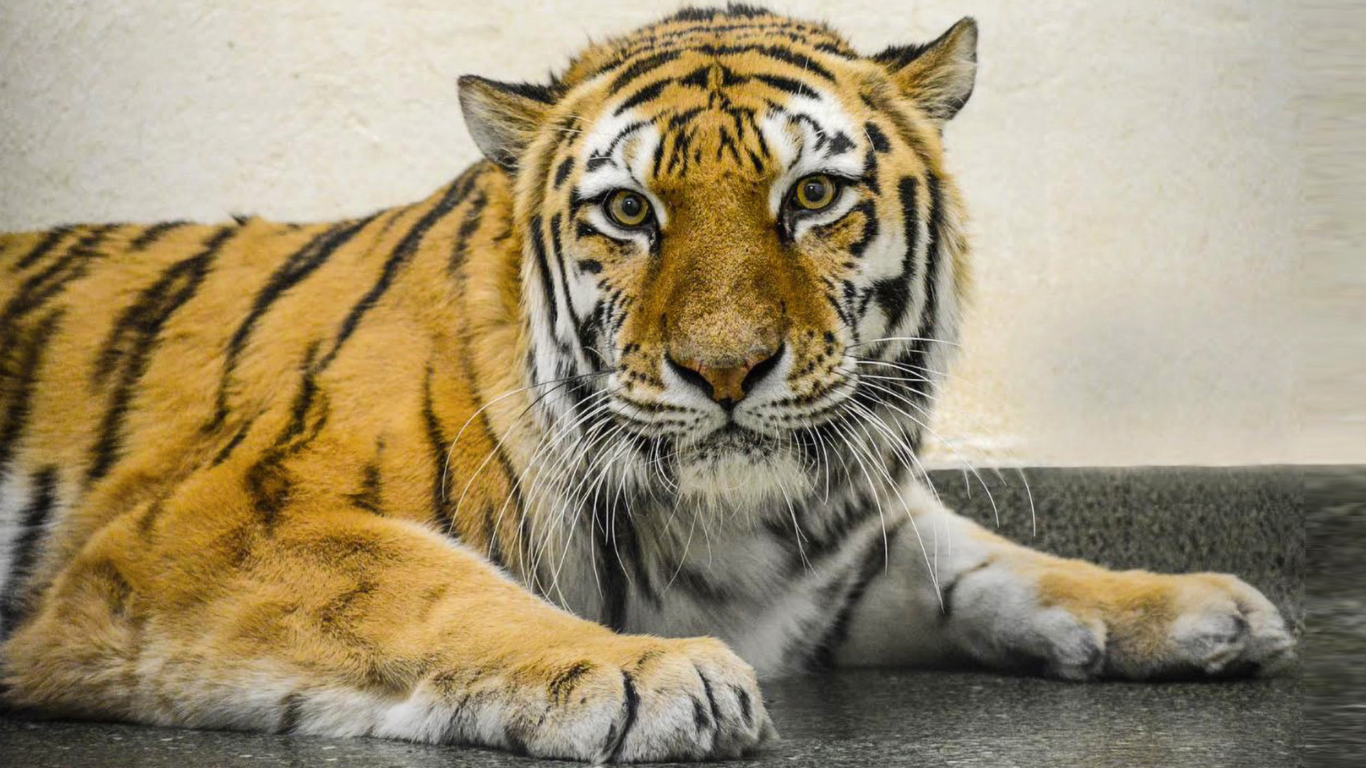Arthritic Tiger Set For Second Surgery In 4 Days After Hip Replacement Fails