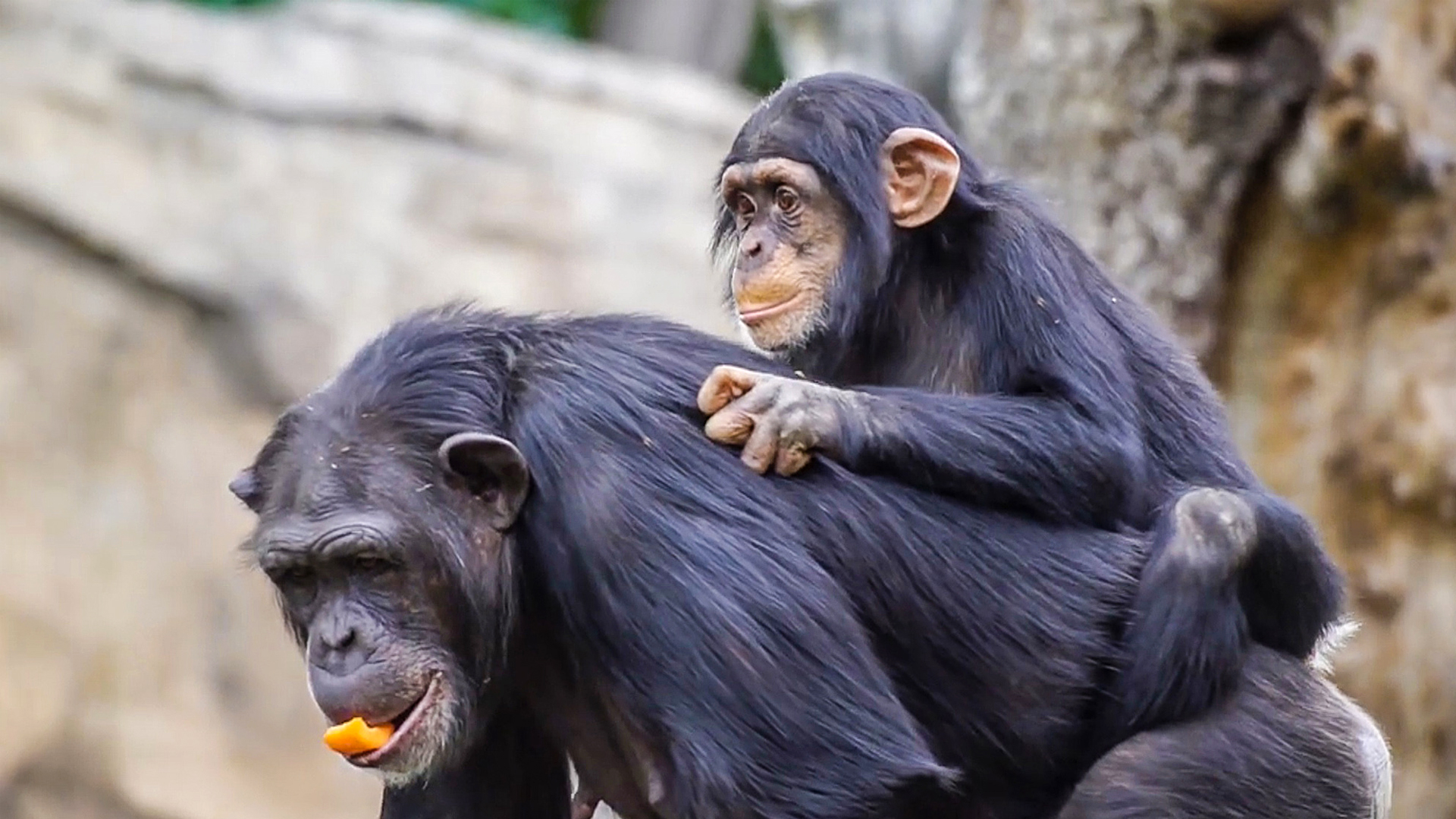A Pair Of Orphaned Chimps Get New Refuge