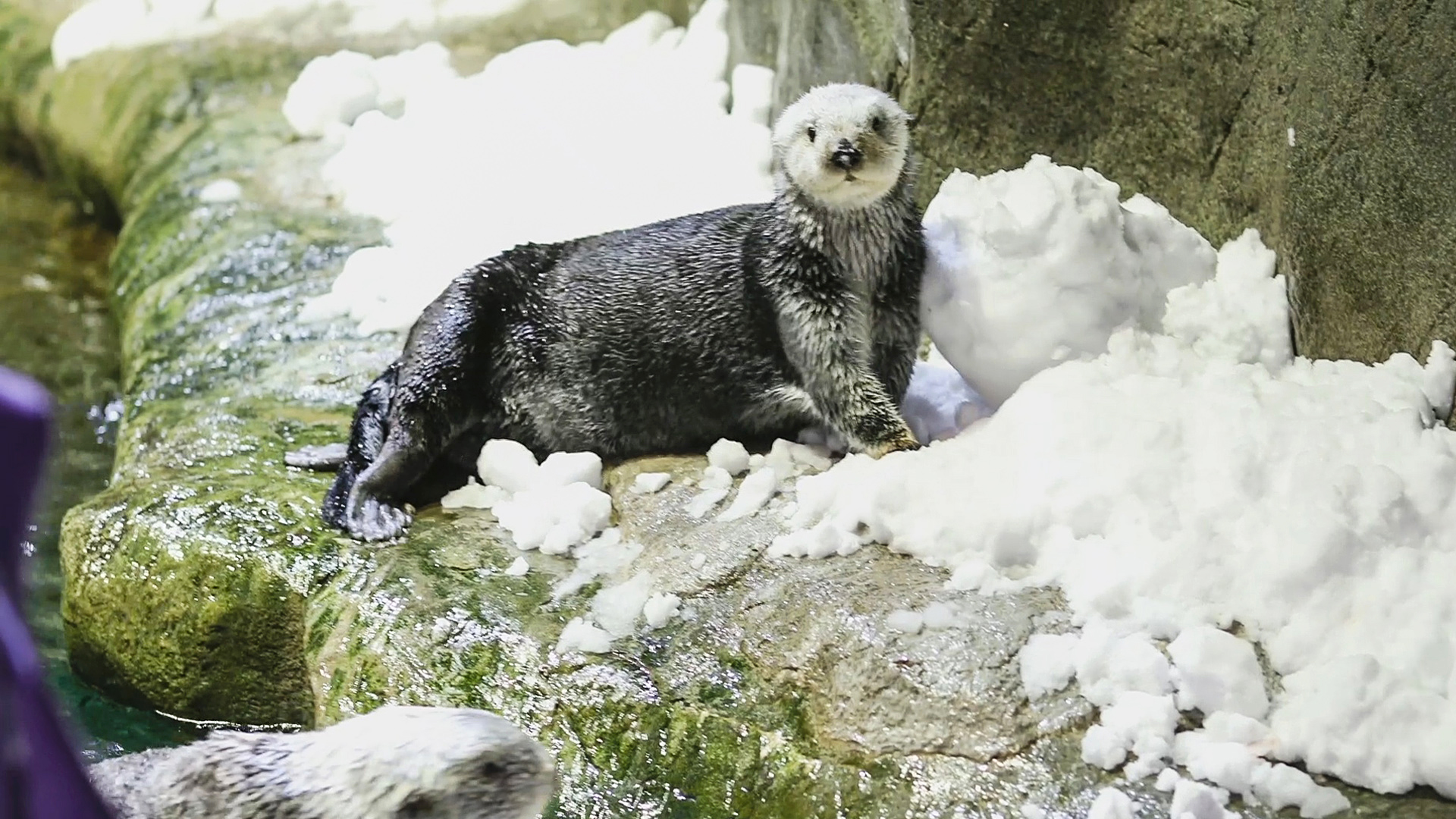 Nothing Brrr-y About It: Furry Sea Otters Love The Snow