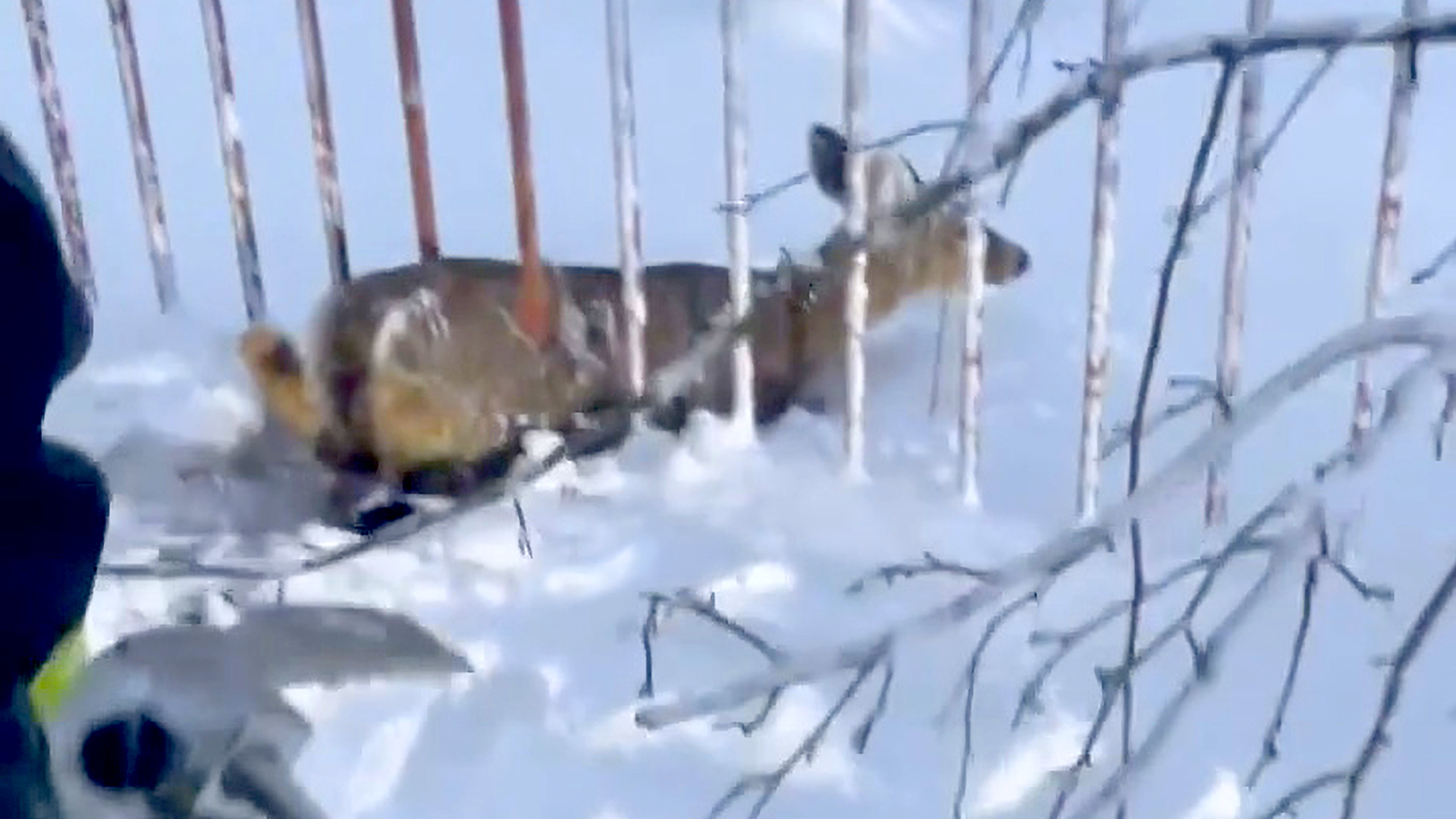 VIDEO: No Of-Fence Deer But Please Get a Move On