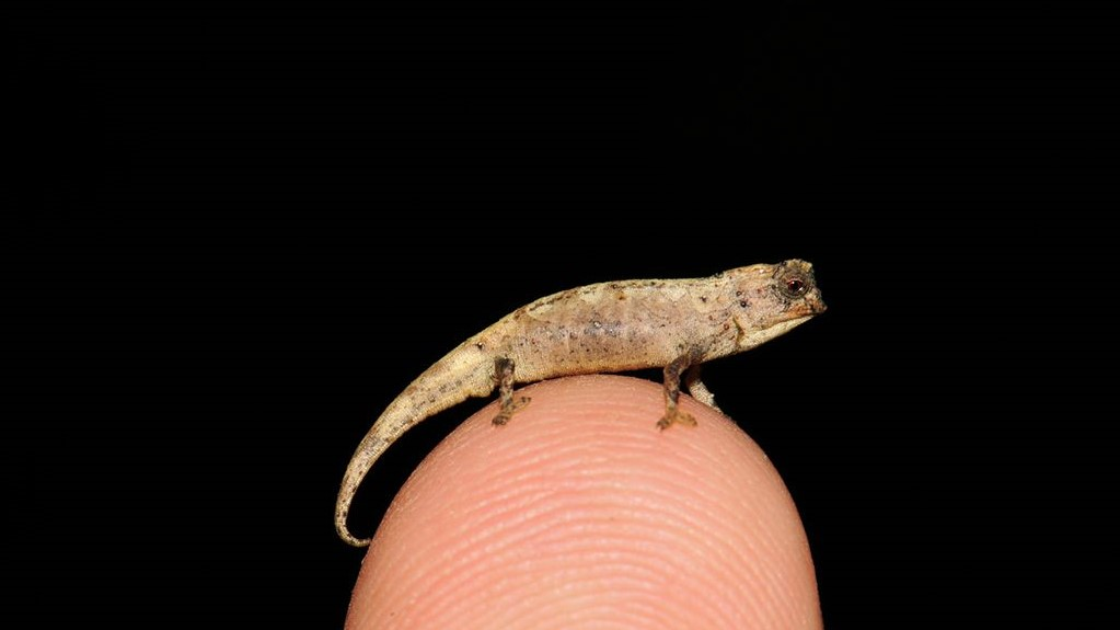 New Species Of Tiny Chameleon With Large Genitals Found In Madagascar