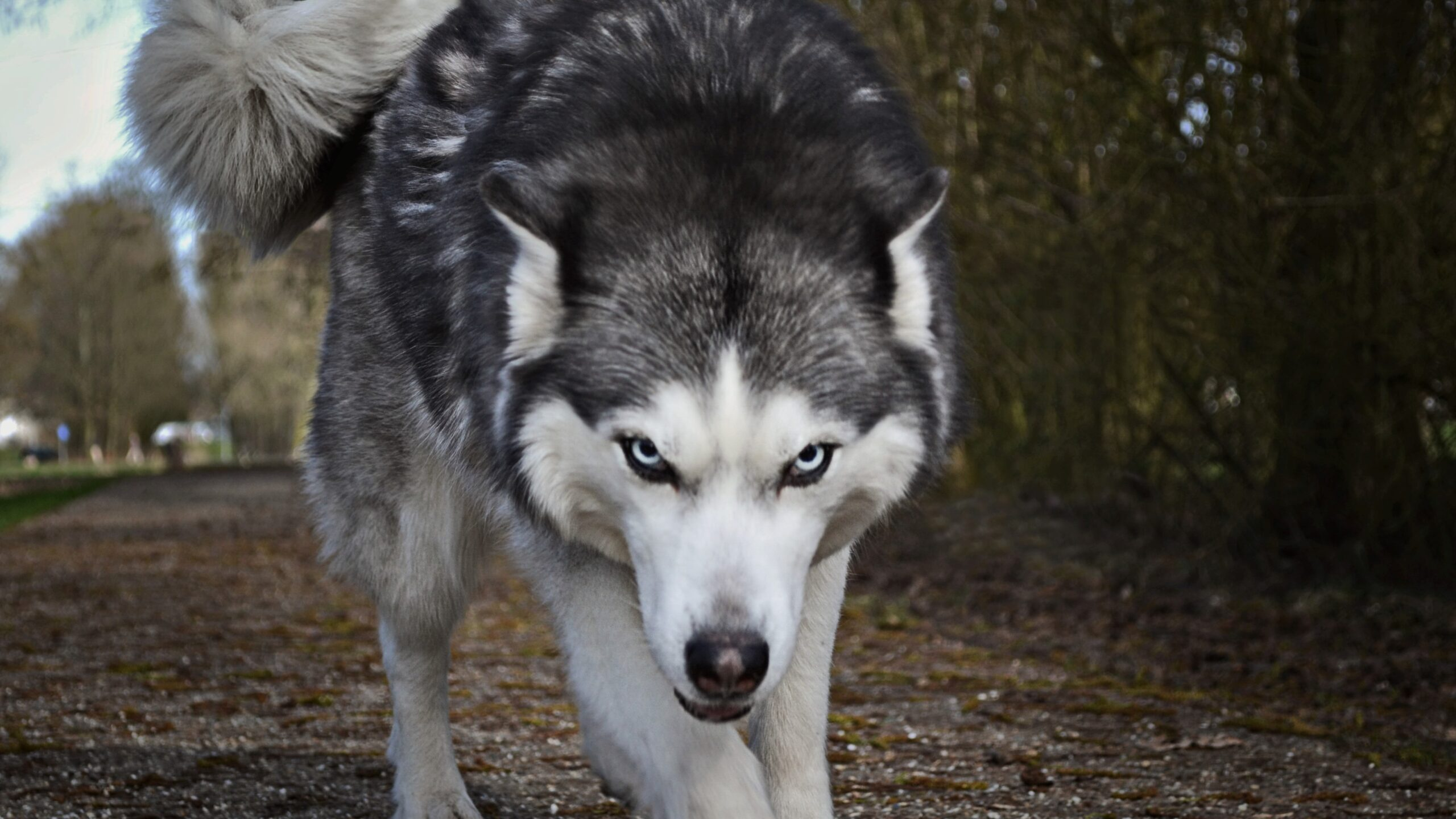 Wolf Escapes from Private Zoo, Attacks Civilians in a Park