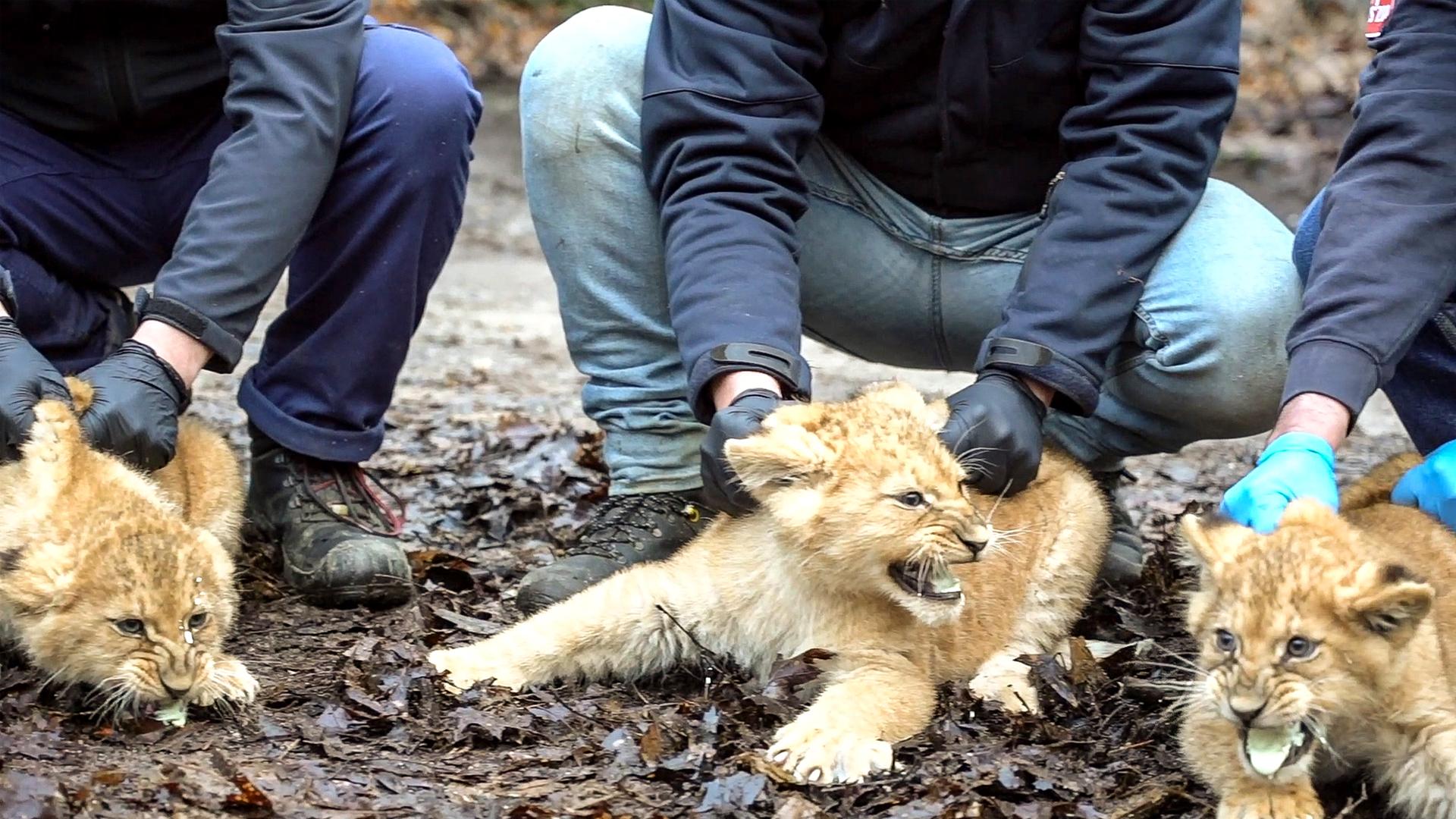 VIDEO: Lion Cub Triplets Don't Mind A Little Jab
