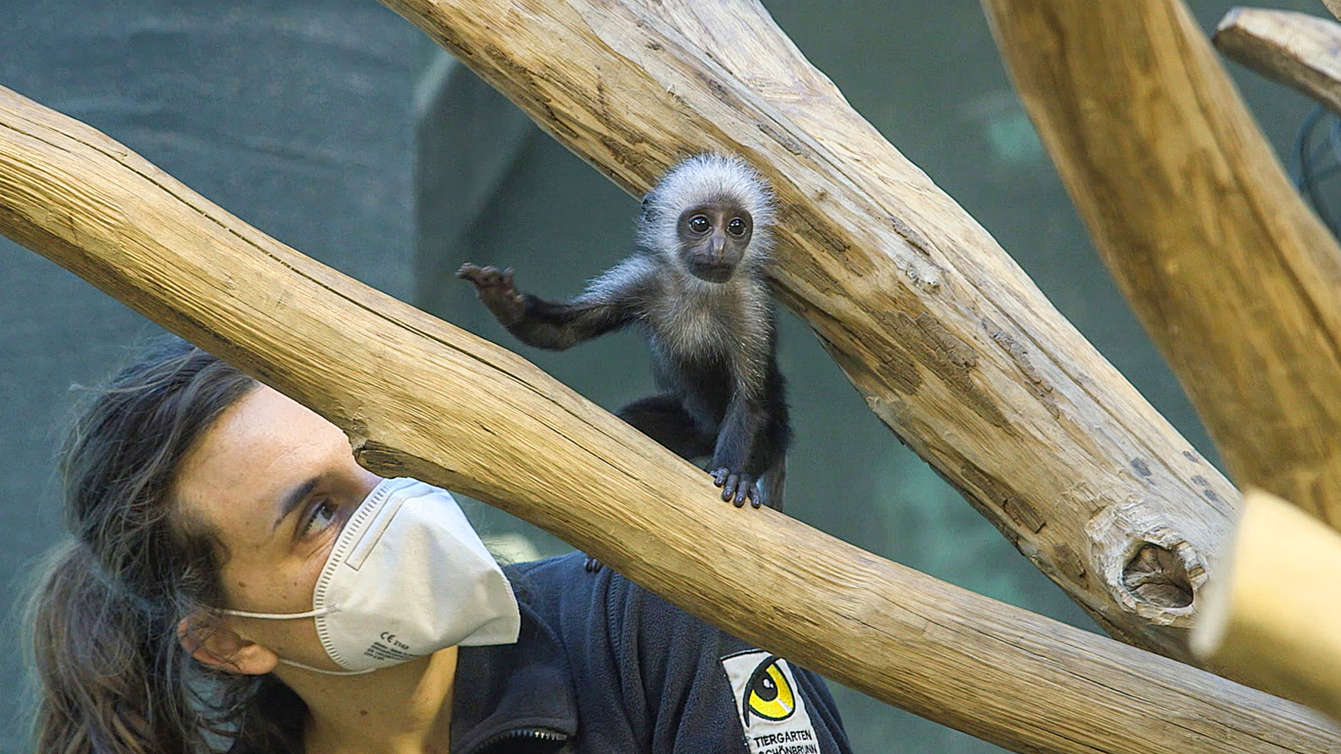 Baby Colobus Monkey Ready For First Meet-And-Greet