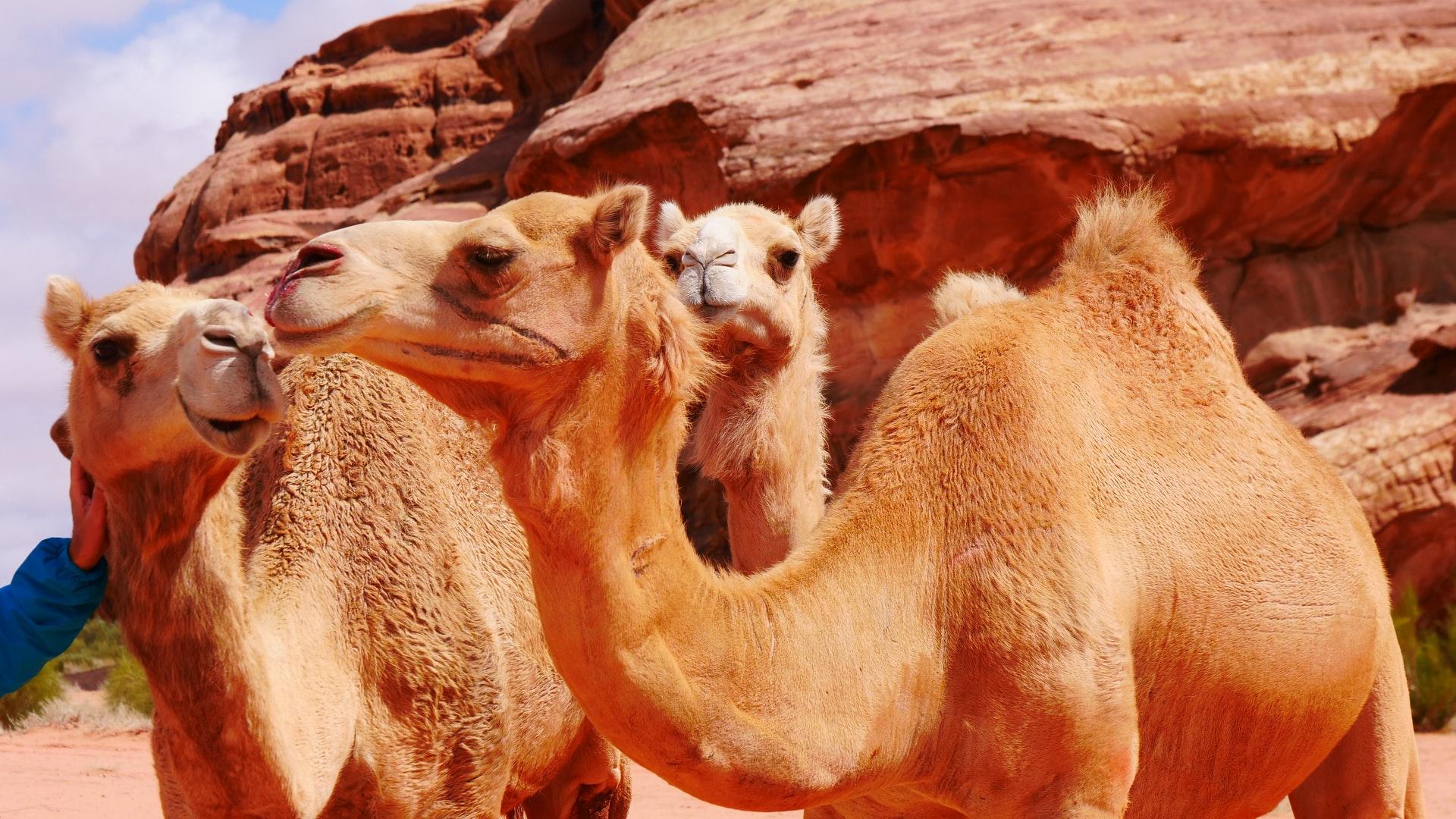 Streamlined Meds: Camel Antibodies Key To Treating Prostate Cancer