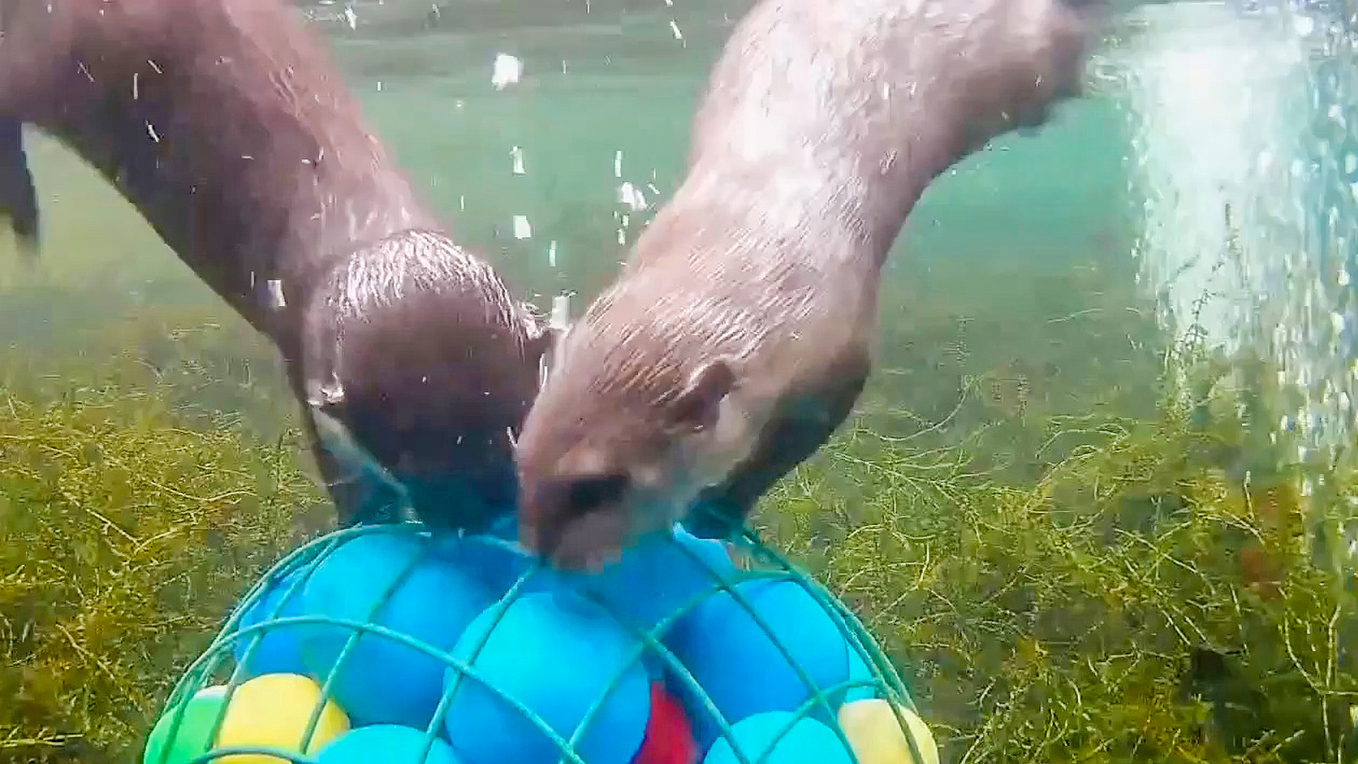 VIDEO: Otter Joy: Carol And Ernie Enjoy Clams And Crabs For Lunch