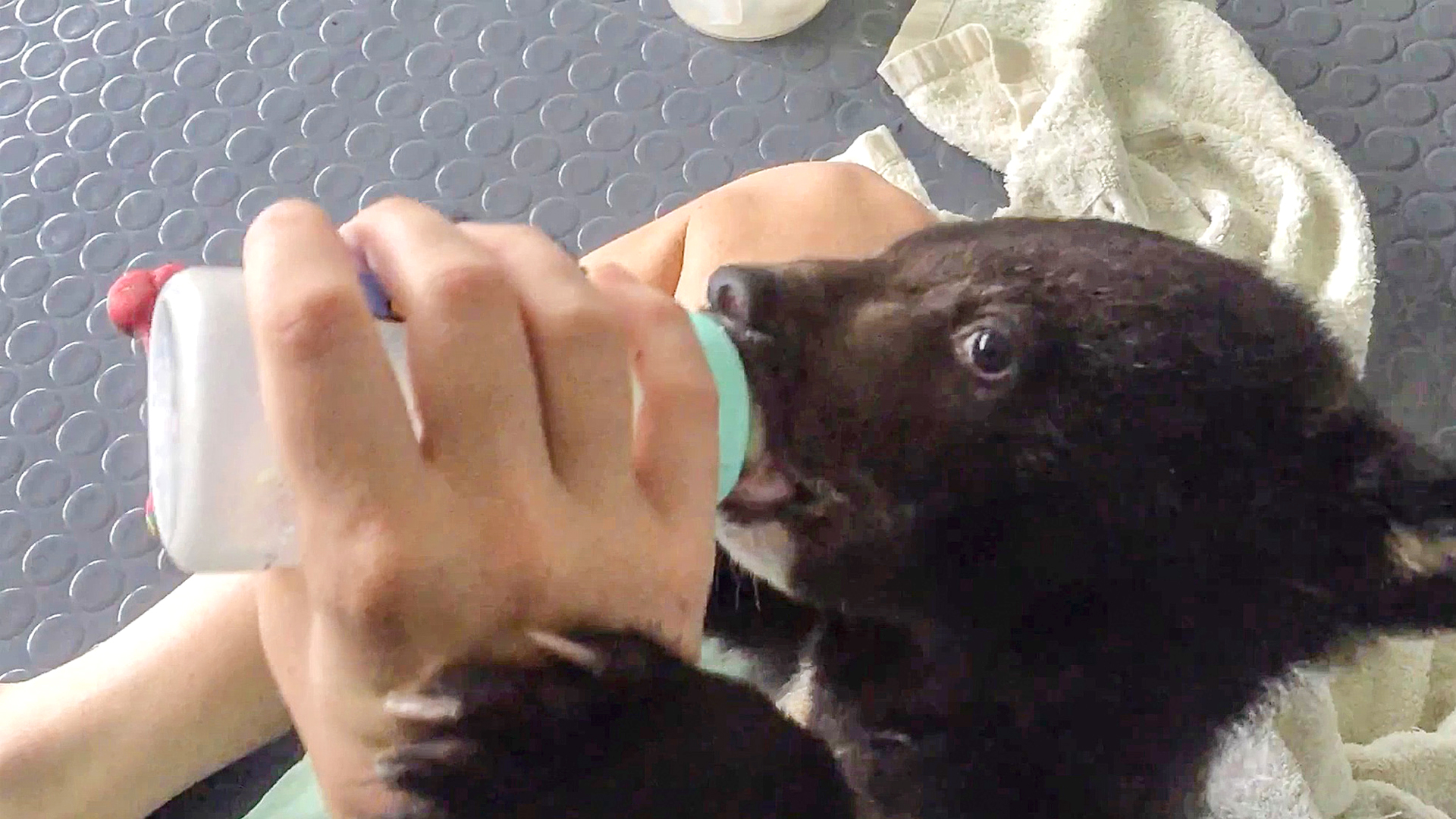 VIDEO: Huggy Bears: Rescued Cubs Romp With Keeper