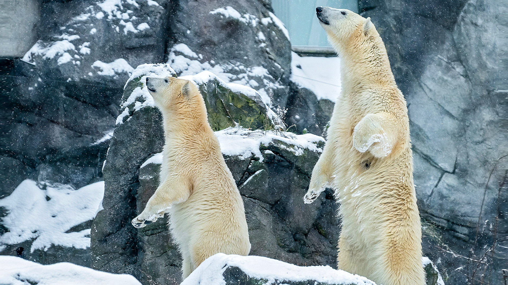 VIDEO: Polar Bear At Vienna Zoo Joins Global Initiative To Protect Endangered Species