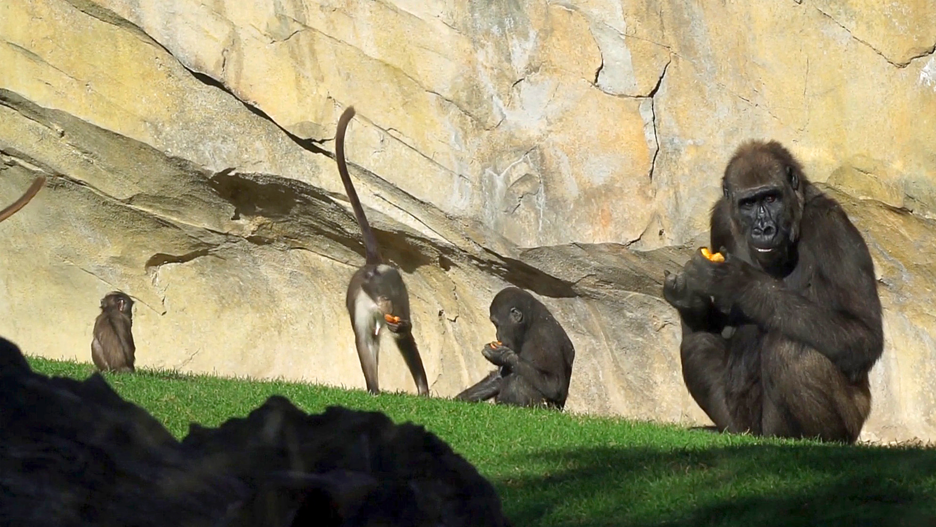 VIDEO: Apey Families: Gorilla Troop Show Their Tender Side At Zoo