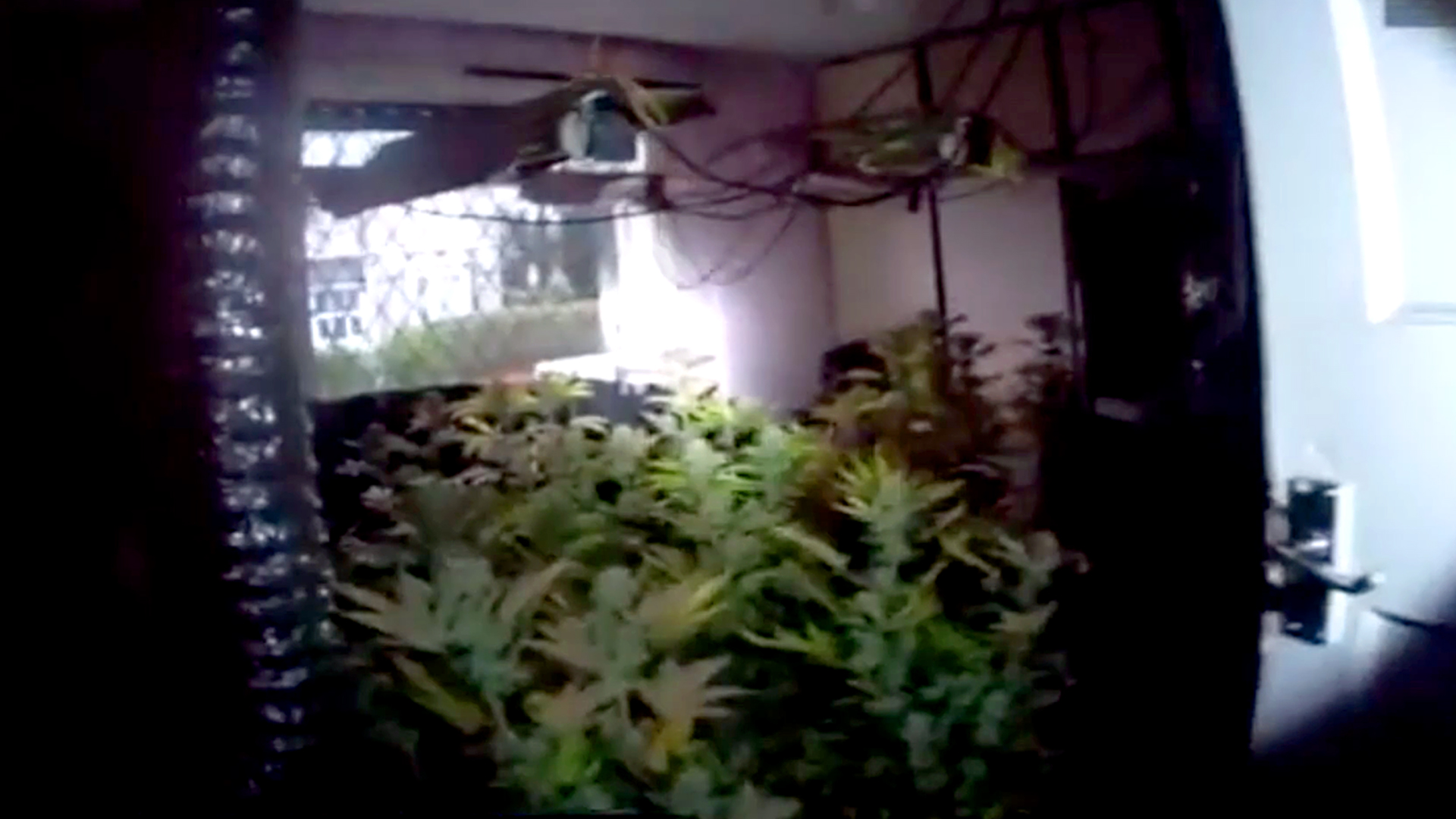 VIDEO: Hash Snagged: Police Bust $140,000 Cannabis Farm