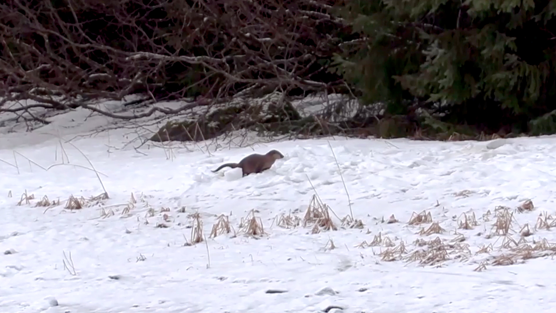 VIDEO: Otter Joy! Snow End Of Fun For Park Playtime