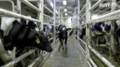 VIDEO: COW-VID: Thousands Of Steers Stranded On Boats With Deadly Virus