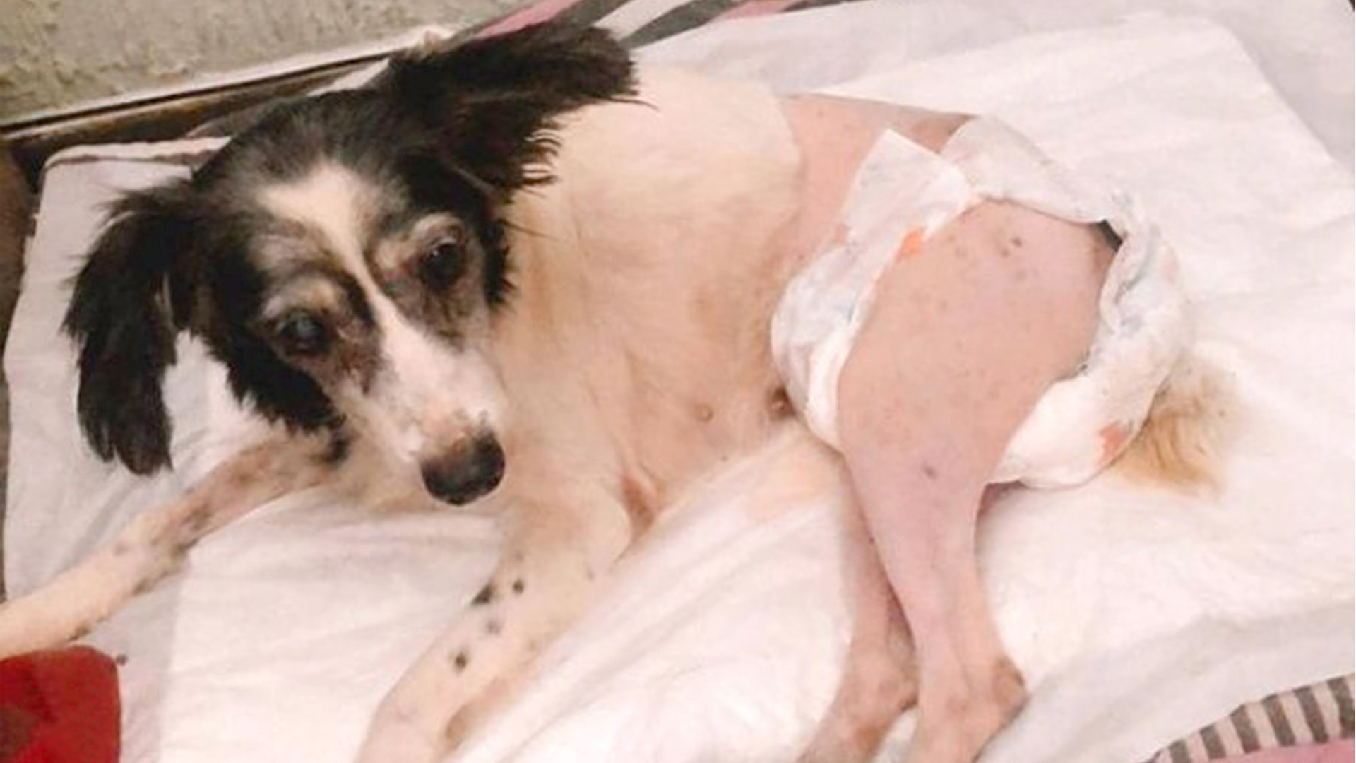 VIDEO: Dog Learns To Walk Again After Cruel Driver Runs It Over In Street - Zenger News