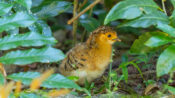 VIDEO: 50 Years Later, Bare-faced Curassow Chicks Spotted In Argentinean Natural Park