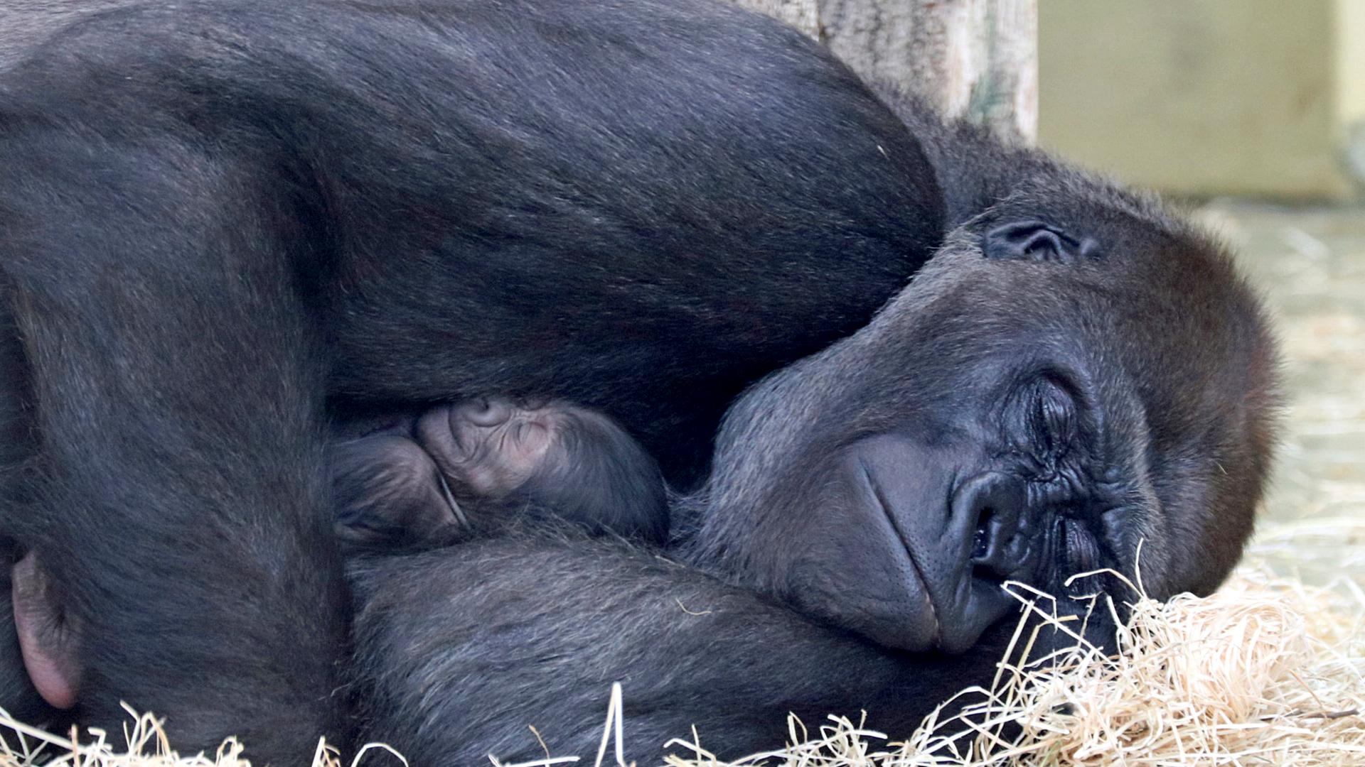 VIDEO: Berlin Zoo Seeks Public's Help In Naming Two-Week-Old Gorilla Cub