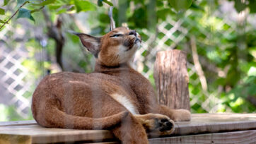 Royal Caracal Cats Now 'Critically Endangered' In India