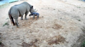 VIDEO: Rhino Kneels: Rare Baby Black Rhino Stumbles On Her First Shaky Steps