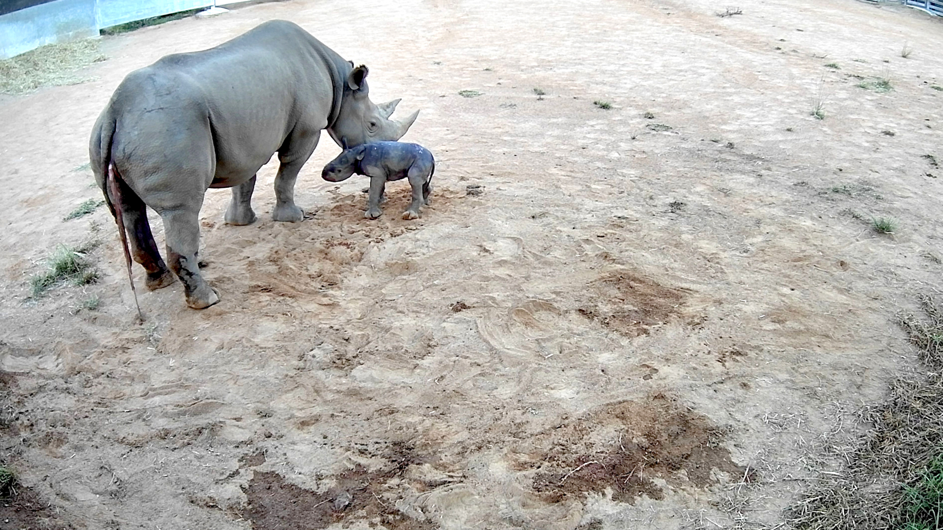 VIDEO: Rhino Kneels: Rare Baby Black Rhino Stumbles On Her First Shaky Steps
