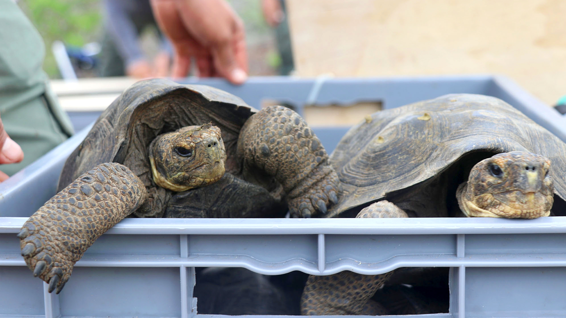 VIDEO: Coming Out Of Their Shells: Extinct Wild Giant Tortoises Return To The Galapagos Islands