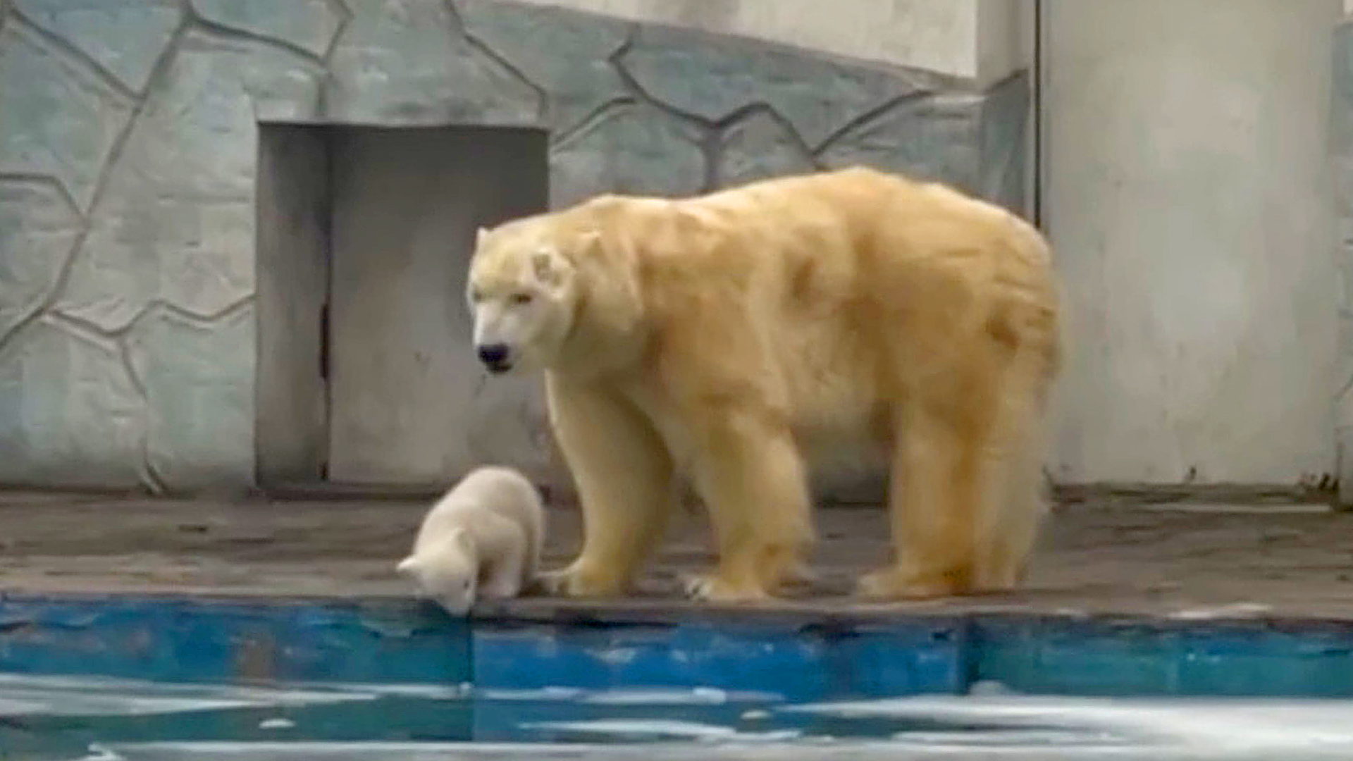 VIDEO: Polar Bear Takes Cute Cub On 1st Outdoor Walk And Stops It Falling In Pool