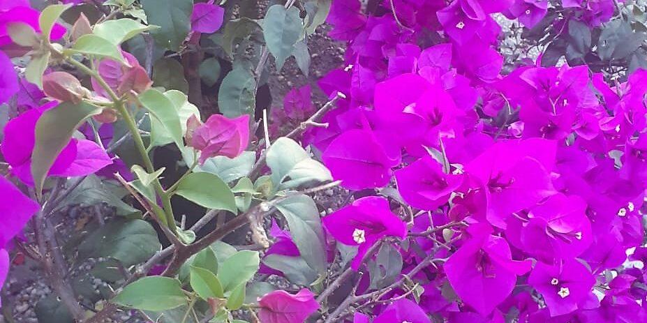 La bugambilia da bienvenida a la primavera
