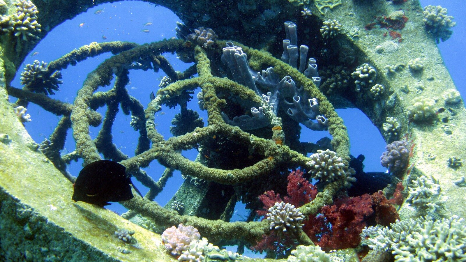 Loved To Death: Red Sea's Treasured Coral Reefs Saved By Building Fake Ones