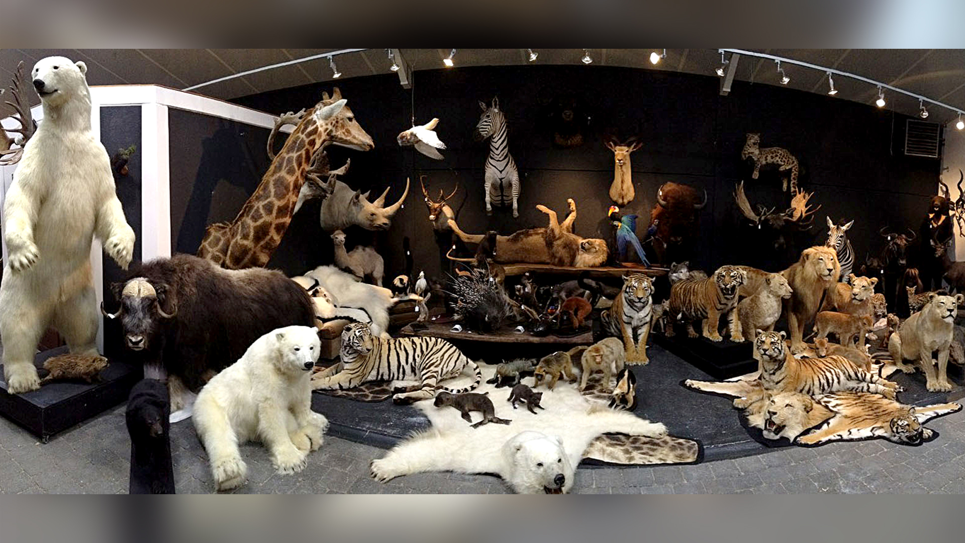 VIDEO: Fur Pity's Sake: Thief Stole Hundreds Of Animal Skins From Taxidermy Studio