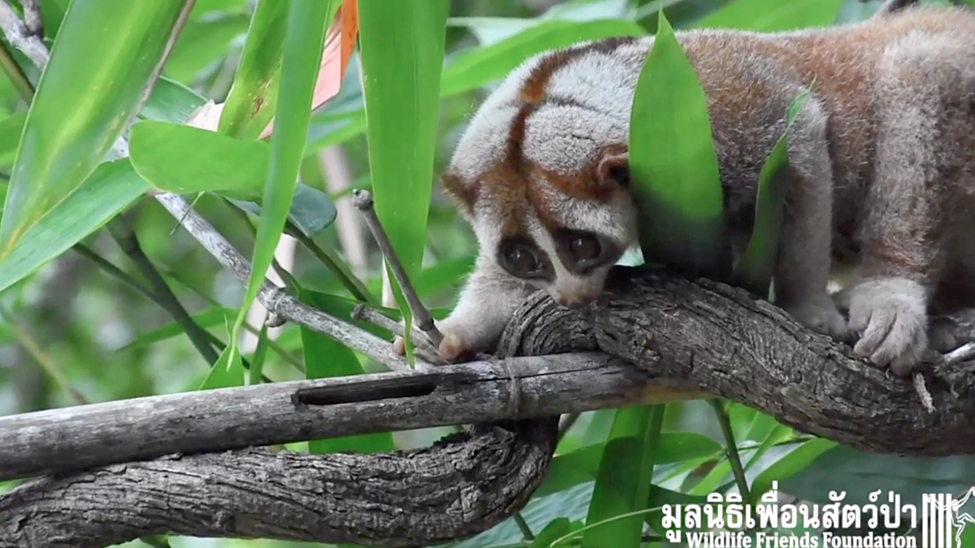 VIDEO: Slowly Does It: Slow Loris Returns To The Wild After Treatment For Power Line Shock