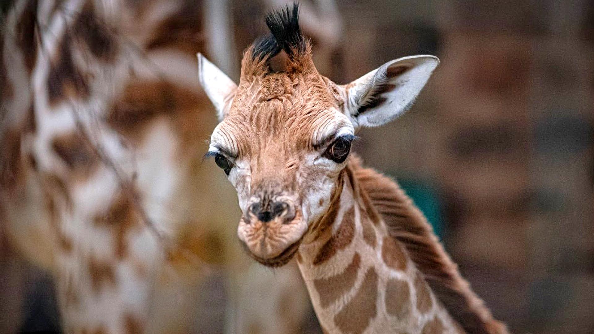 VIDEO: High Mom! Incredible Birth Of Baby Giraffe