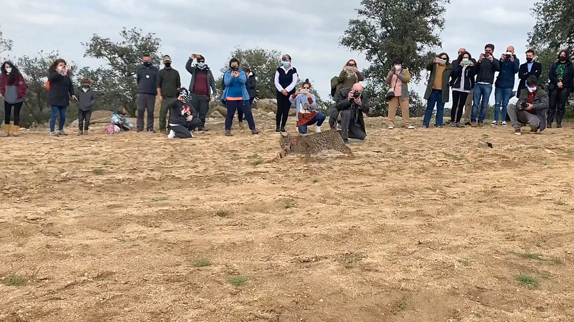 VIDEO: Endangered Iberian Lynxes Released Into Their Natural Habitat