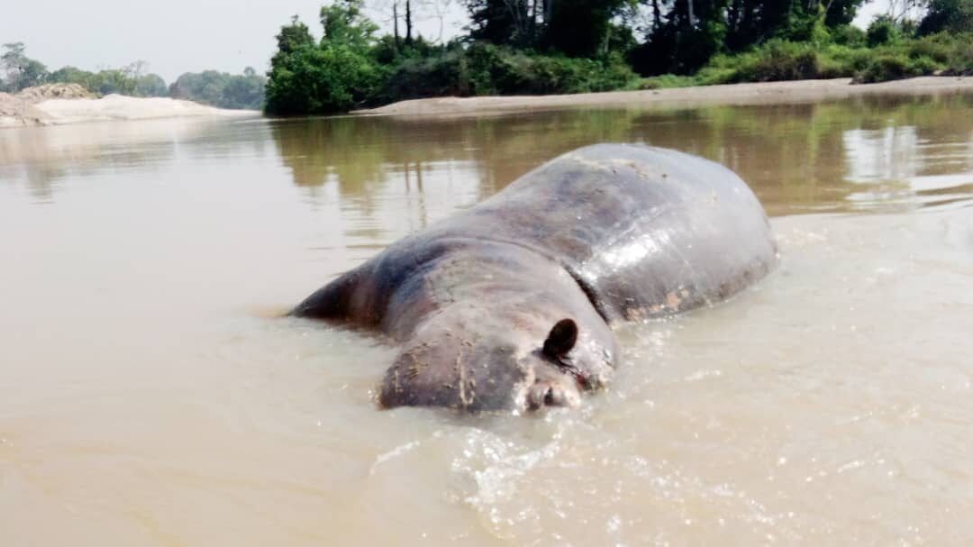 It's The Pits: Abandoned Gold Mine Holes Dangerous For Hippos, Humans