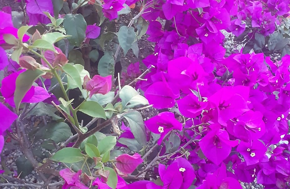 Bougainvillea Flowers Welcome Spring In Latin America