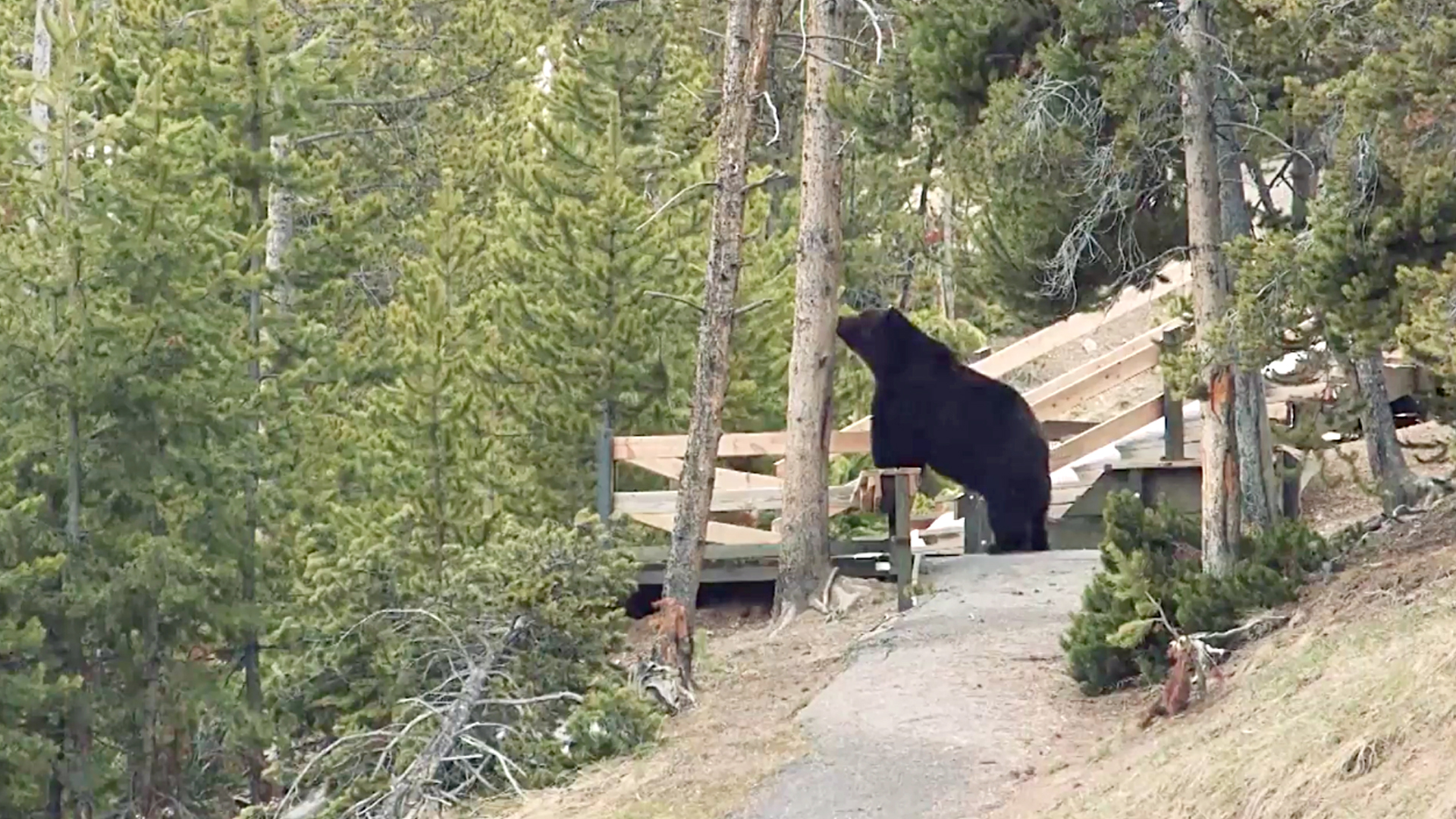 VIDEO: Well You'd Be Grizzly If You Woke Up After Five Months And There Was Nothing To Eat