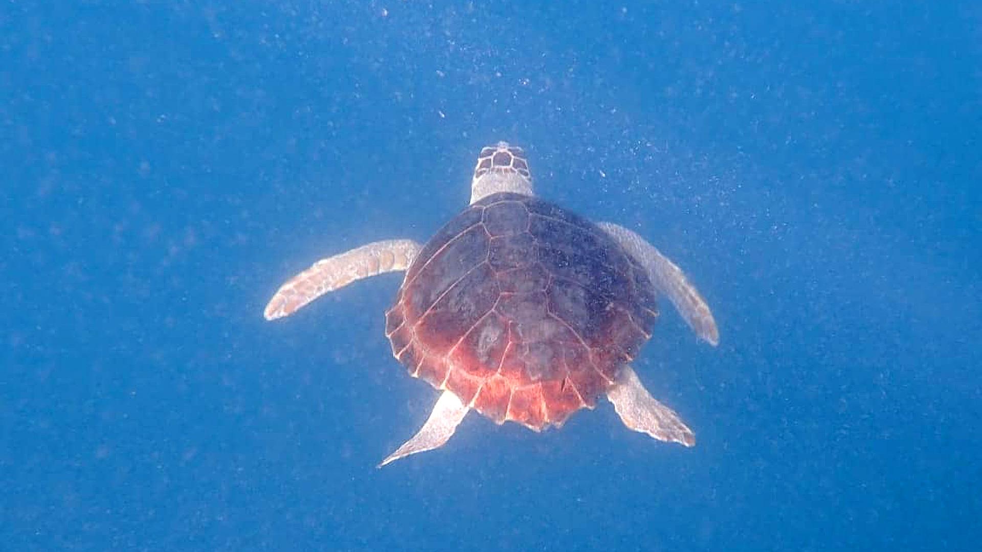 VIDEO: Net You Again! Sea Turtle Eleonora Saved From Fishermen's Tackle Twice