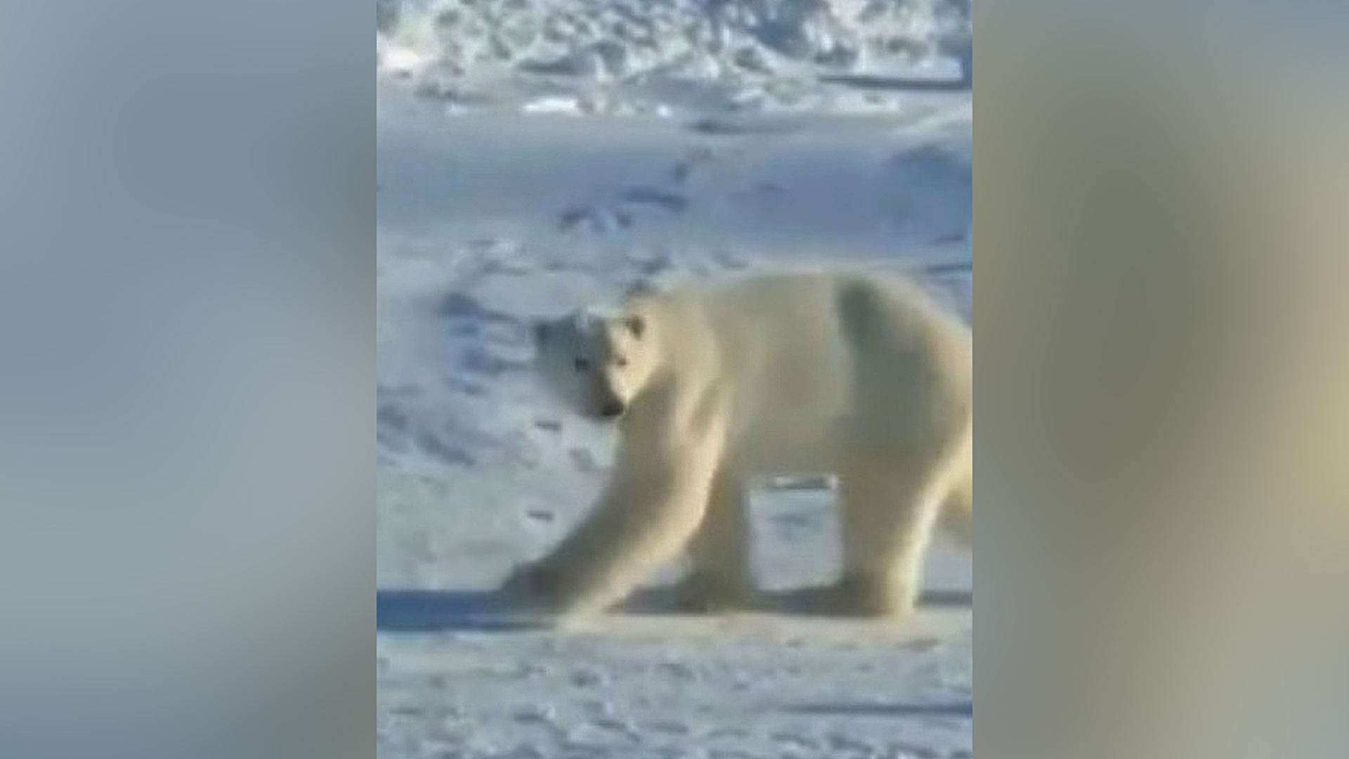 VIDEO: Polar Scare: Hungry Bear Frightened Off With Gunfire As It Heads For Children's Playground